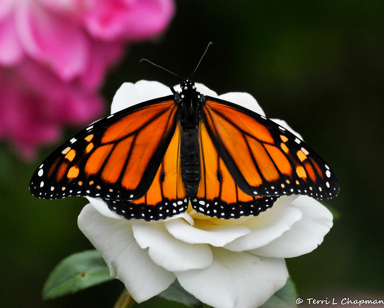 A beautiful male Monarch Butterfly drying his wings on an Iceberg rose. This Monarch was born in my garden on May 4, 2015.
