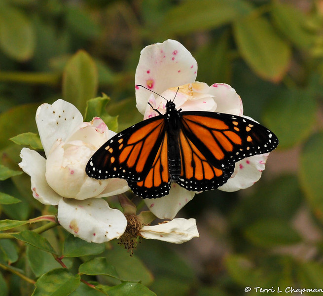 """A male Monarch Butterfly resting on an """"iceberg"""" floribunda rose in my garden. This Monarch had just emerged from his chrysalis and was spreading his wings to dry in the sun."""