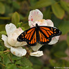 "A male Monarch Butterfly resting on an ""iceberg"" floribunda rose in my garden. This Monarch had just emerged from his chrysalis and was spreading his wings to dry in the sun."