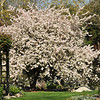 Flowering Crabapple tree at Descanso Gardens in La Canada, CA