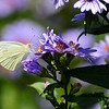 A Cabbage White Butterfly sipping nectar from an Aster flower