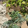 A male Giant Swallowtail flying off my Common Rue plant...one of the plants in my garden that I use to attract the swallowtails to lay their eggs upon.