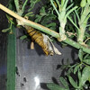 The empty chrysalis of the Giant Swallowtail