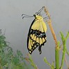 A GIANT SWALLOWTAIL DRYING HER WINGS ON SEPTEMBER 13, 2017