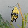 A female Giant Swallowtail, born on September 13, 2017, drying her wings on a Milkweed plant. When this butterfly emerged from her chrysalis, she did not have enough room on the Rue plant she was on to expand her wings, so I had to move her to another plant.