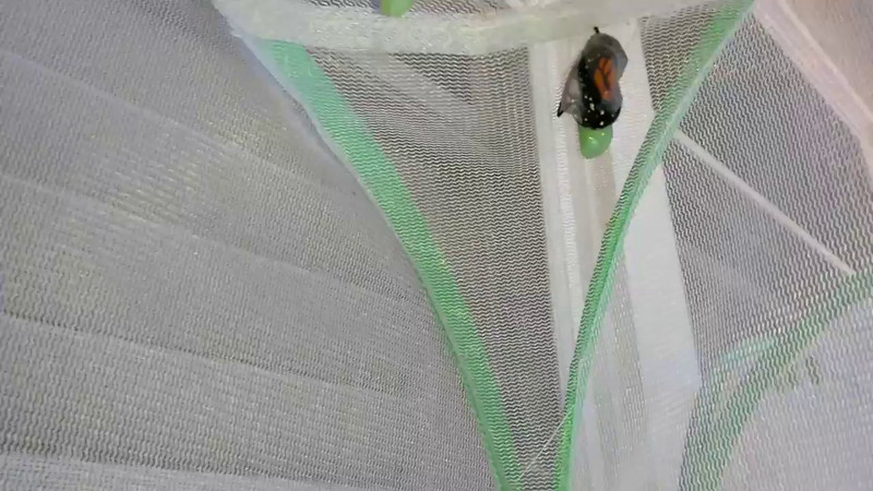A male Monarch emerging from his chrysalis on June 20, 2015.  After a Monarch emerges from its chrysalis, it rocks and forth, and opens and close its wings, to unfold and inflate its wings with a reservoir of fluid contained in its swollen abdomen. As the wings inflate, the body of the butterfly attains its normal proportions. Once the wings are fully inflated, the Monarch expels any excess fluid and then rests as its wings dry, which can take several hours depending on the weather.