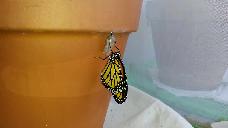 This large male Monarch was born on July 3, 2015. I uploaded this video to show how a Monarch rocks back and forth, and opens and closes its wings, to inflate its wings with a reservoir of fluid contained in its swollen abdomen. As the wings inflate, the body of the butterfly attains its normal proportions. Once the wings are fully inflated, the Monarch expels any excess fluid and then rests as its wings dry, which can take several hours depending on the weather. I lay paper towels down inside the caterpillar enclosure so the fluids from the birth can be easily cleaned up.
