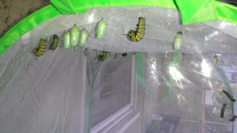 """Caterpillars in their """"J"""" form, and preparing to form their chrysalises, three large caterpillars climbing to the top of the mesh castle, and many chrysalises already formed."""