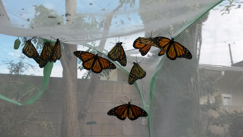 On September 12, 2015,  19 Monarchs were born - 4 females and 15 males. In this image, they are flapping their wings and ready to be released!