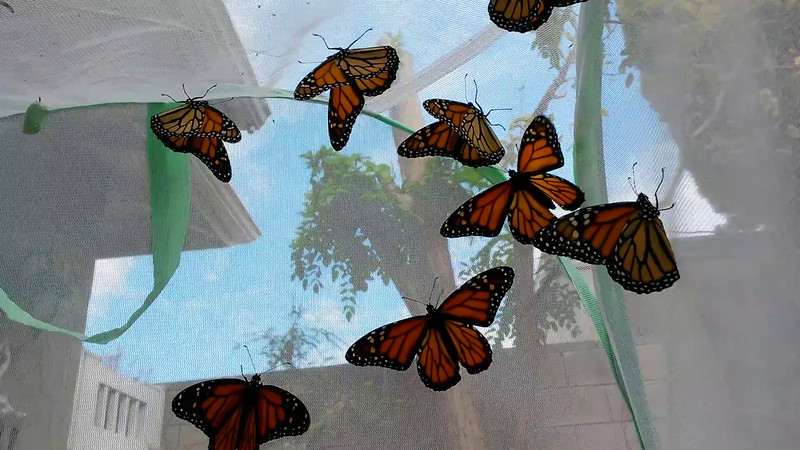 On September 12, 2015, 19 Monarchs were born - 4 females and 15 males - and here some of them flapping their wings and preparing to be released!