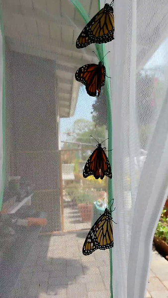 Eight Monarch Butterflies born June 11, 2015 - 6 females and 2 males