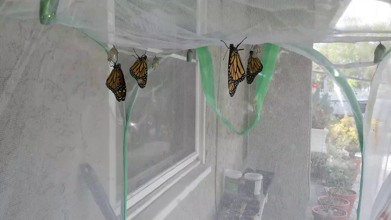 On July 1, 2015, 5 male Monarchs were born! This video clip shows 4 of the males drying their wings.