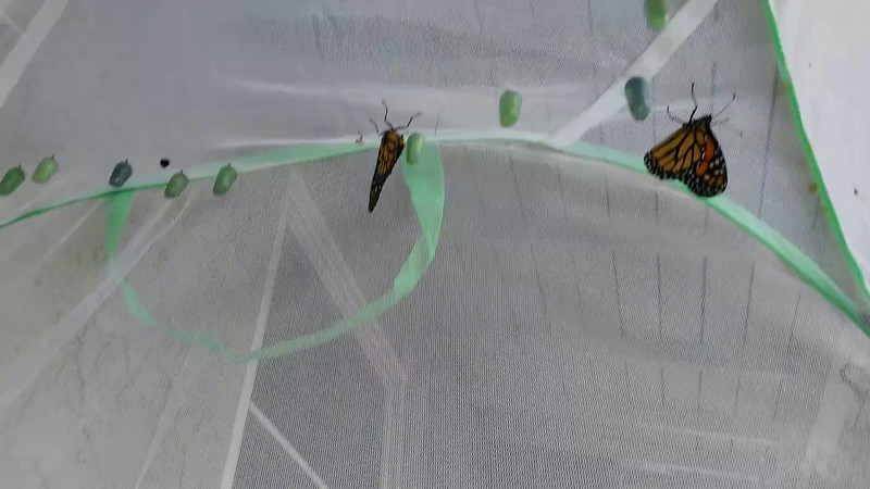 Six Monarch Butterflies born May 4, 2015 - 1 female and 5 males