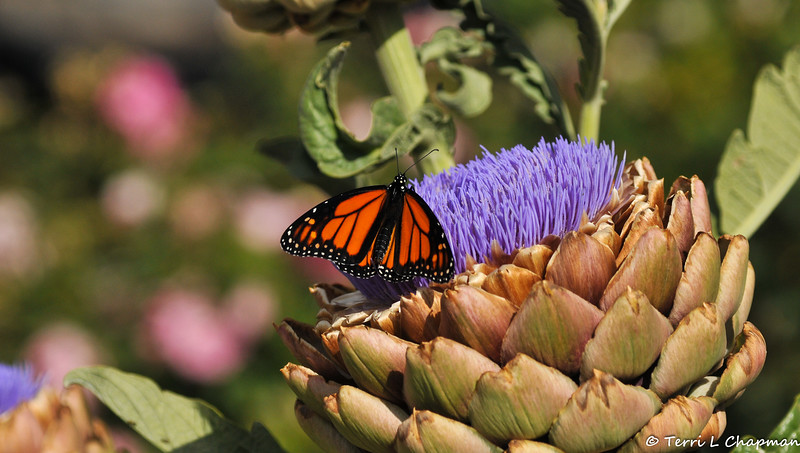 This male Monarch was photographed in my garden on May 22, 2021. He is Monarch #2,948. After his wings had dried, I placed him on my blooming Artichoke so that he could warm his body in order to take his first flight.