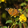 A Painted Lady butterfly on Lantana
