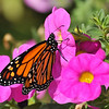 A male Monarch Butterfly born January 17, 2016 and resting on a Petunia bloom before he took his first flight. This Monarch was the 1,112th butterfly released in my garden.