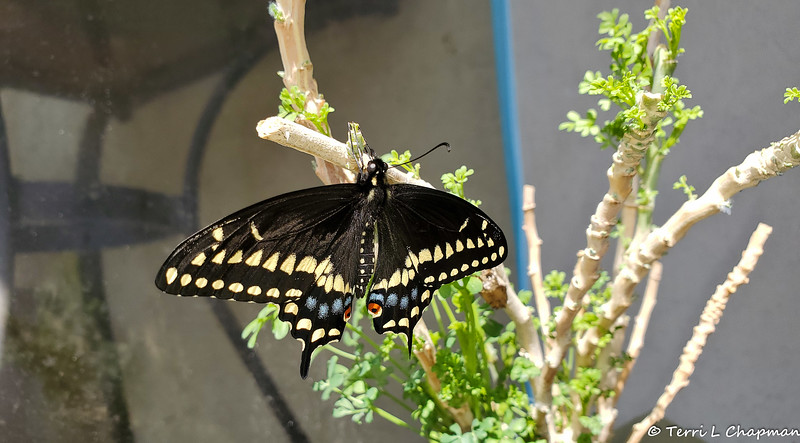 A male Black Swallowtail Butterfly born on March 25, 2019
