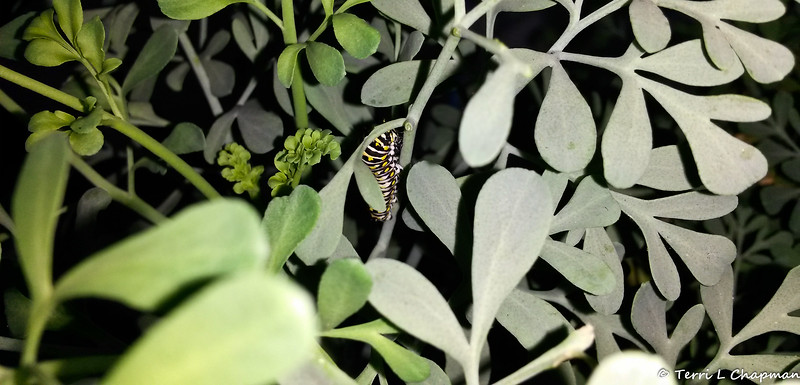 A Black Swallowtail caterpillar photographed September 10, 2018