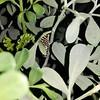 A Black Swallowtail caterpillar photographed September 10, 2018
