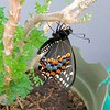 IT'S A BOY! - MY FIRST BLACK SWALLOWTAIL BUTTERFLY WAS BORN MARCH 25, 2019