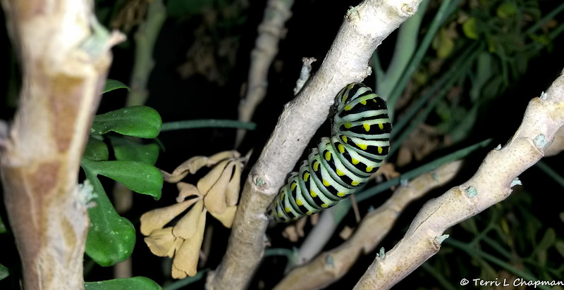 "A Black Swallowtail caterpillar preparing to form its chrysalis by getting into a ""J"" position - photographed September 19, 2018"
