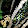 """A Black Swallowtail caterpillar preparing to form its chrysalis by getting into a """"J"""" position - photographed September 19, 2018"""