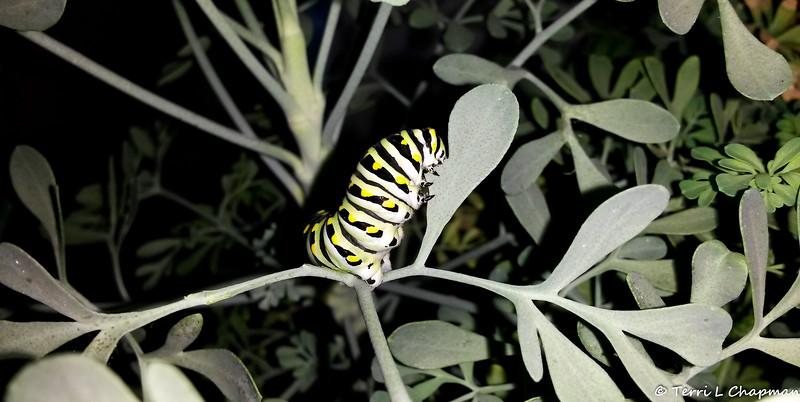 A Black Swallowtail caterpillar photographed September 16, 2018