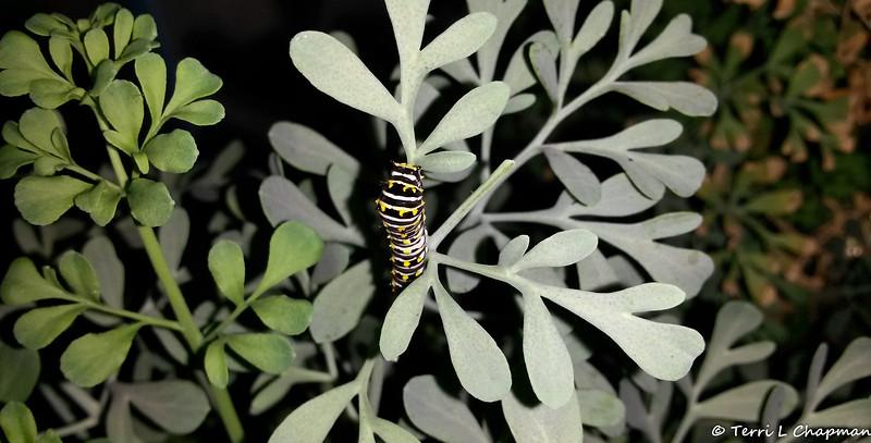 A Black Swallowtail caterpillar photographed September 9, 2018
