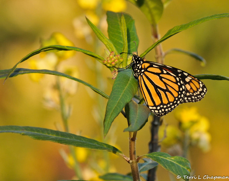 On February 1, 2015, which was 18 days after the caterpillar formed the chrysalis, a male butterfly emerged around 2:30 pm