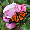A beautiful male Monarch Butterfly, resting on a Plum Crazy rose, before he takes his first flight. This Monarch was born in my garden on May 8, 2015.