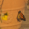 The female Monarch Butterfly flapping her wings.