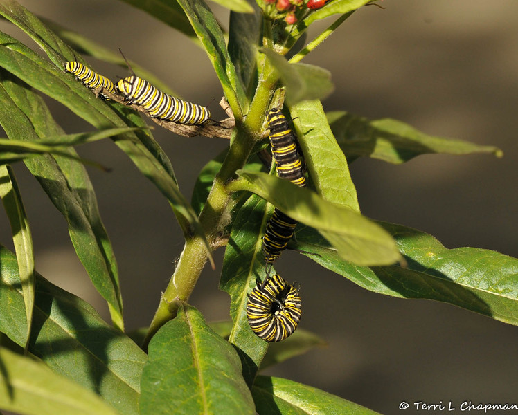 Four Monarch Caterpillars, in different larva stages, on a Milkweed plant.