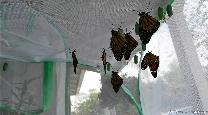 Monarchs born June 11, 2015 and drying their wings on the top of their mesh castle. On this day, 10 females and 2 males were born.