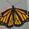 "Monarch #2,200 was born on Easter, April 1, 2018, and ""she"" was released in my garden the following day when the sun finally emerged."