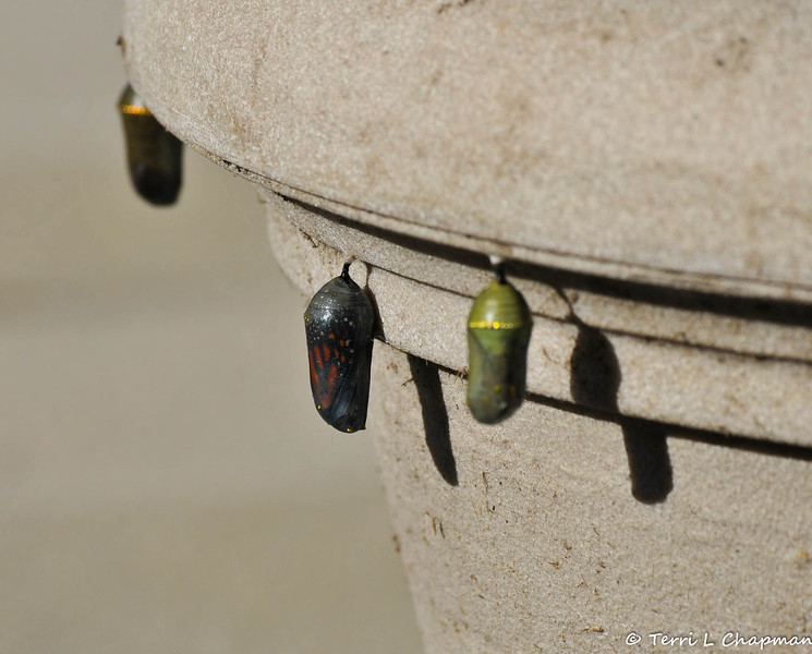 """On February 3, 2015, which was 20 days after the caterpillar formed the chrysalis, a butterfly can be clearly seen and """"she"""" emerged around 1:00 pm."""