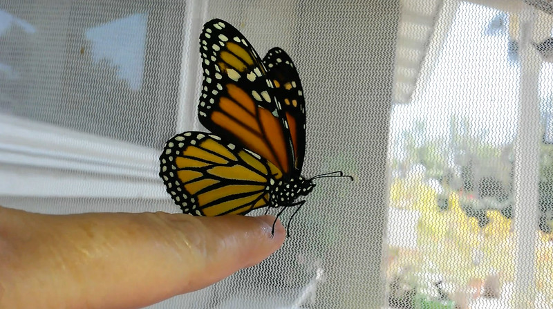 "Monarch #2,300 was born on September 1, 2018 and ""she"" was released into my garden around 2:00 p.m."