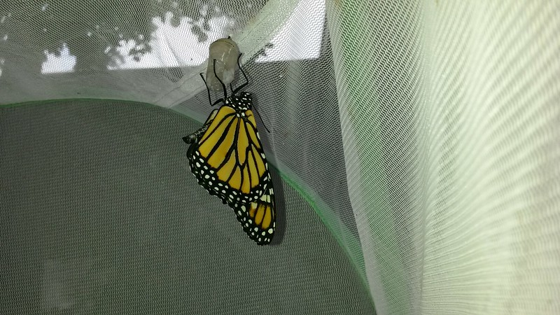 My 700th Monarch was born on September 14, 2015 and it was a male!