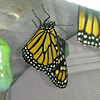 "Monarch #2,400 was born on January 29, 2019 and ""she"" was released into my garden around 3:00 p.m. The other Monarch in image is a male Monarch born the same day.<br /> <br /> What is so interesting about Monarch #2,400 being a female, is that Monarchs #2,300 and #2,200 were also females!"