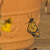 The female Monarch photographed about an hour after emerging from the chrysalis. You can see the antenna are now upright and the wings are dry and more upright.