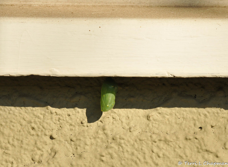 On January 4, 2015, this Monarch caterpillar formed a chrysalis on my front porch windowsill.