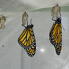 On January 17, 2021, these two female Monarchs were born. They were #2,899 and #2,900!! A milestone day! These butterflies dried quickly, and were released within just a few hours, because it was 90 degrees on this day!! Who said it was winter???
