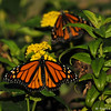 A beautiful male and female Monarch born in my garden on October 19, 2015. I had 17 Monarchs born in the late afternoon that day and could not release them until the next morning, so I placed these butterflies on my Lantana plant so they could sip nectar before they took their first flight.