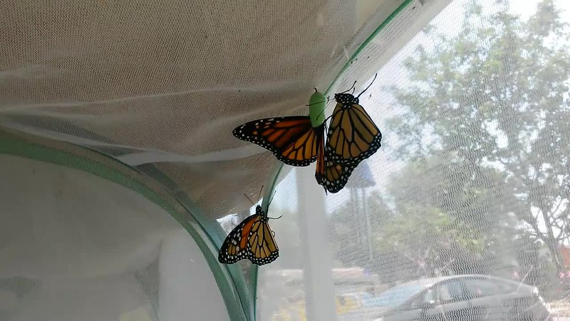 Monarch #2,000 (and his siblings) before he was released into my garden on August 16, 2017