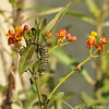 Two Monarch Caterpillars greeting each other on top of a Milkweed plant. There is also a ladybug above them.
