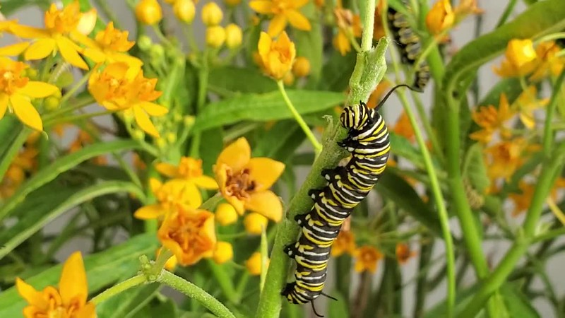 """""""I want to be like a Caterpillar. Eat a lot, sleep for a while, and then wake up beautiful.""""<br /> <br /> A Monarch Caterpillar busily munching on a Milkweed stem."""