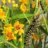 """I want to be like a Caterpillar. Eat a lot, sleep for a while, and then wake up beautiful.""<br /> <br /> A Monarch Caterpillar busily munching on a Milkweed stem."