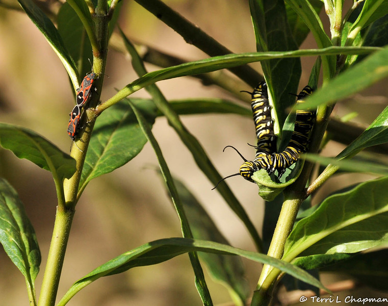 Two Monarch Caterpillars eating, and two Milkweed Bugs breeding, on a Milkweed plant.