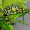 A Monarch Caterpillar munching on Milkweed