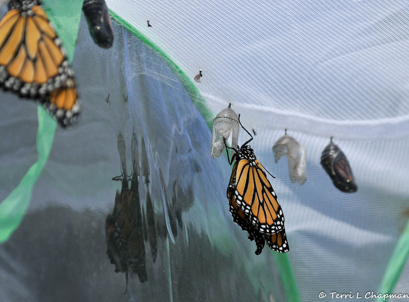 A female Monarch Butterfly a few moments after she emerged from her chrysalis.  In the foreground is another Monarch is ready to emerge and on the left side of the image is a male Monarch that is drying his wings.