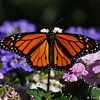 A male Monarch Butterfly resting on Verbena blooms. This Monarch was born in my garden on June 19, 2015
